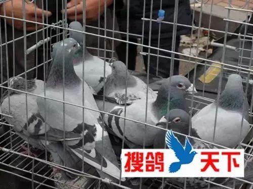 笼中有五羽鸽子,都是中雨点小李从笼中拿出一只大鼻子的雄鸽,这是图片