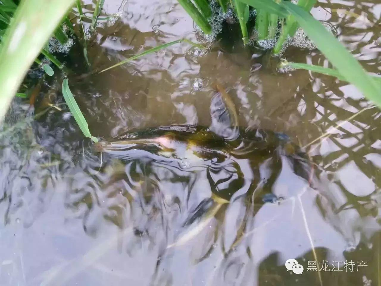 小青蛙小鸭子小鱼儿们全都跑到稻田里玩耍啦