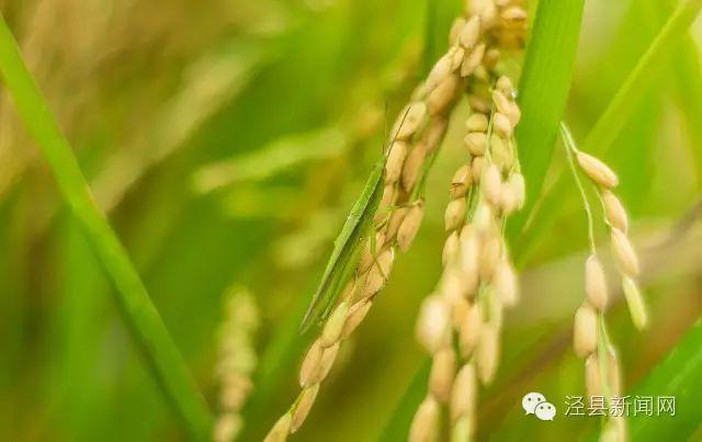 金色稻田 泾秋色彩