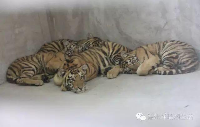突发 就在今天史上最猛的10只大老虎现身德州图片