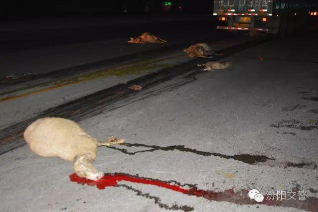 吕梁汾阳 羊群过街被撞惨死 公路岂是放羊地图片